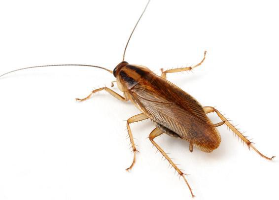 kakkerlakkenbestrijding, kakkerlakken bestrijding, kakkerlakken bestrijden, ongediertebestrijding, ongedierte bestrijden, ongedierte bestrijding