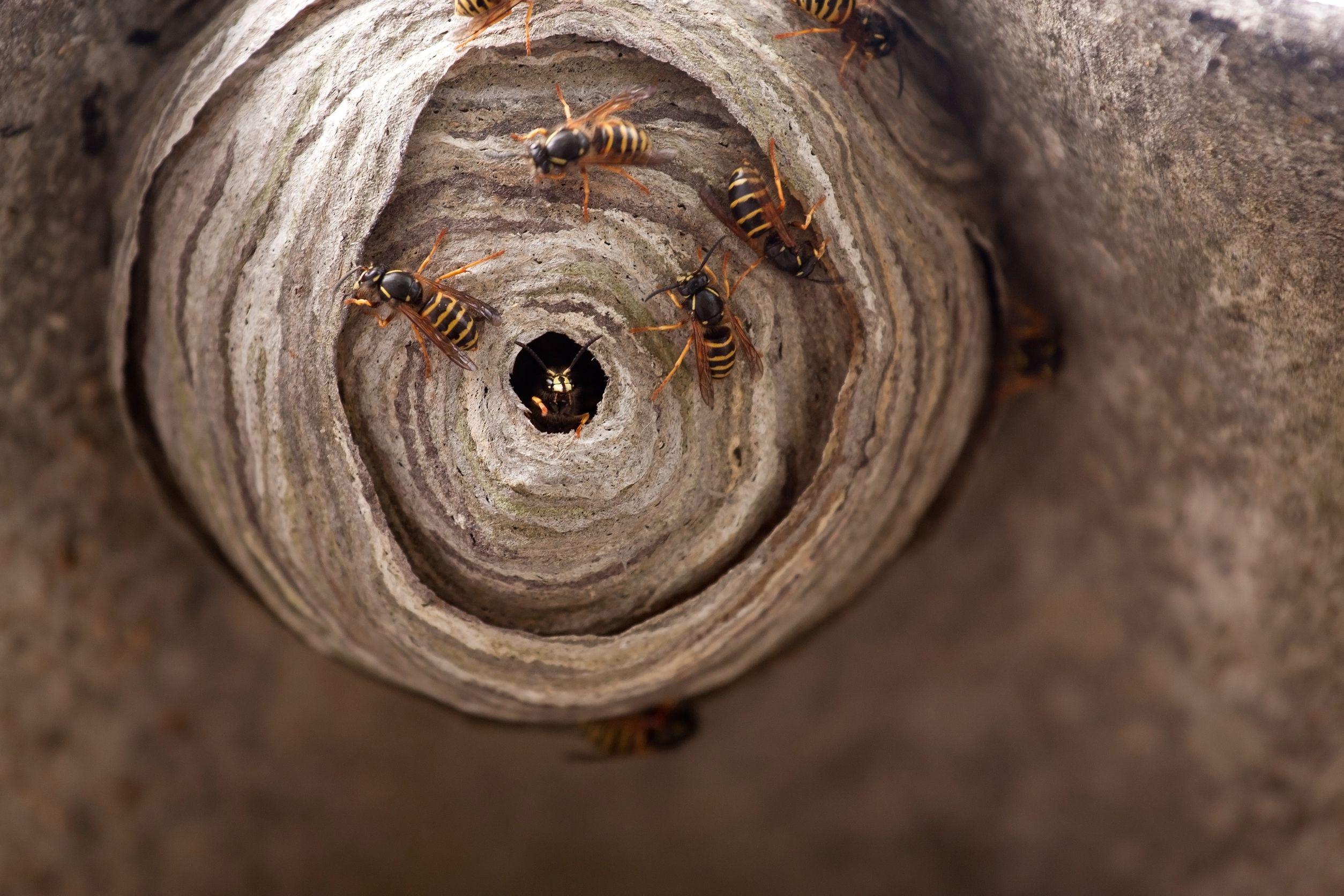wespenbestrijding, wespen bestrijding, wespen bestrijden, ongediertebestrijding, ongedierte bestrijden, ongedierte bestrijding