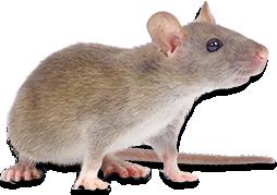 muizen bestrijding, muizen bestrijden, muizenbestrijding