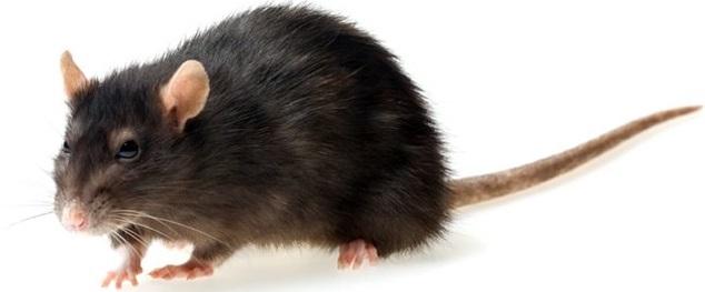 rattenbestrijding, ratten bestrijding, ratten bestrijden, ongediertebestrijding, ongedierte bestrijden, ongedierte bestrijding