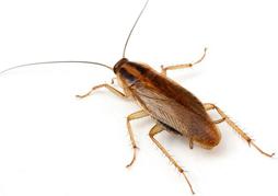 kakkerlakken bestrijding, kakkerlakken bestrijden