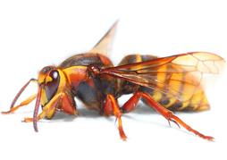 hoornaarsbestrijding, hoornaars bestrijden, hoornaars bestrijding, hoornaarsnest verwijderen