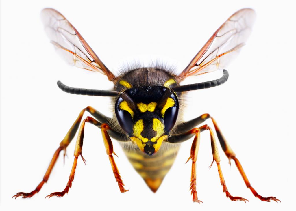 wespenbestrijding, wespen bestrijding, wespen bestrijden