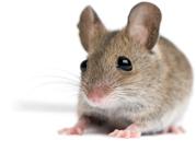 muis, muizen, muizenbestrijding, muizen bestrijding, muizen bestrijden