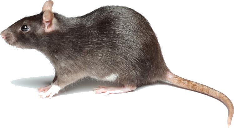 rattenbestrijding, ratten bestrijding, ratten bestrijden