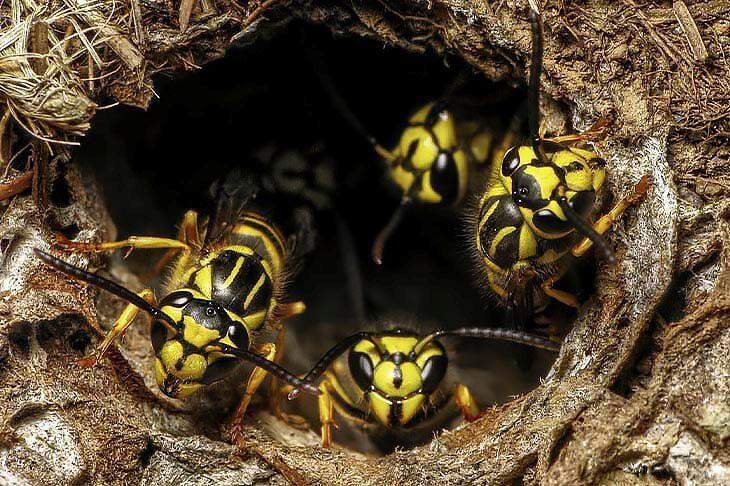 wespennest verwijderen, wespenest verwijderen, wespennest bestrijden
